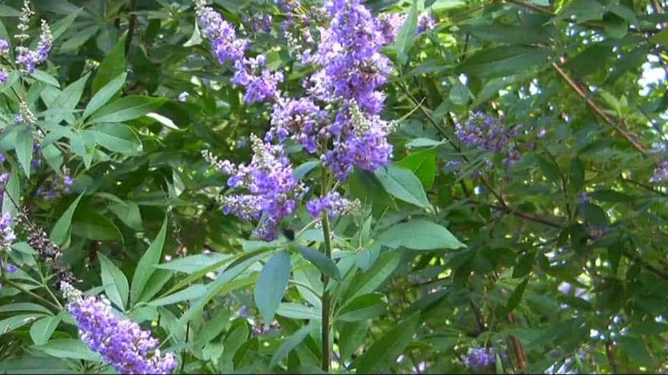 Mönchspfeffer Pflanze